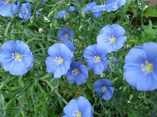 цветы натурального льна, как растет лён, лен на поле